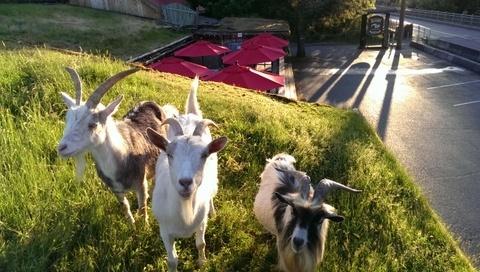 goatsonroof